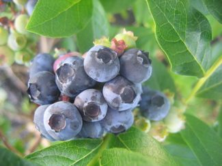 2007-0626blueberries-2.jpg