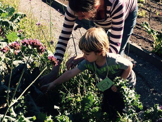Cooks class harvesting kale