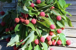 kousa dogwood berries