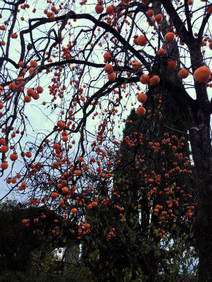 Persimmon tree in Friuli, Italy