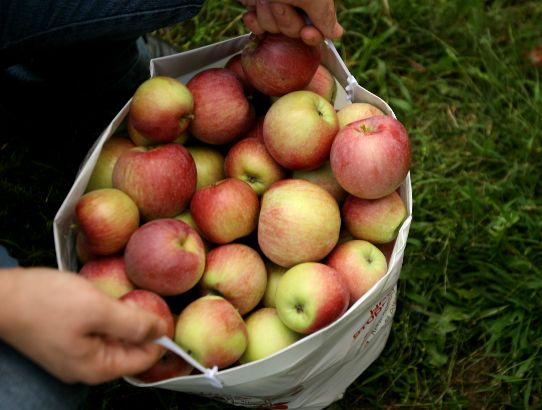 pick apples in westchester