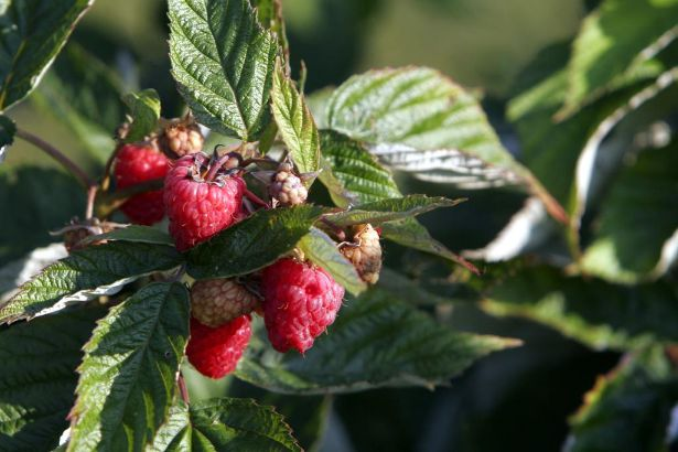 -fb073107berries11.jpg_20070801