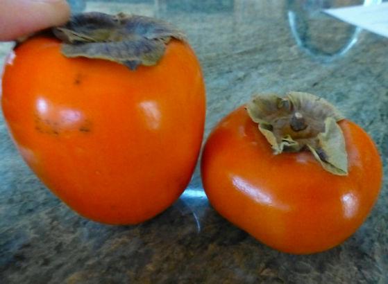 persimmon types: hachiya and fuyu
